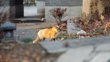 Cute Wild Red Fox In Wuhan University, It Is Mascot Of Wuhan University, Named As Luoluo.
