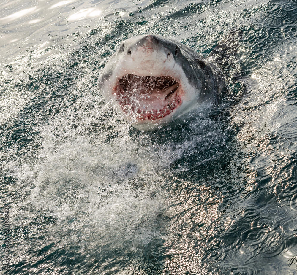 Fototapety, obrazy: Great white shark with open mouth on the surface out of the water. Scientific name: Carcharodon carcharias.  South Africa,