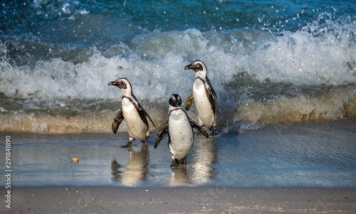 Tuinposter Pinguin African penguins walk out of the ocean to the sandy beach. African penguin also known as the jackass penguin, black-footed penguin. Scientific name: Spheniscus demersus. South Africa