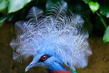 Jurong Bird Park, Singapore - JUNE 30, 2019: Scheepmaker's Crowned Pigeon