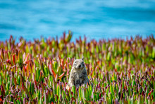 Squirrel In The Ice Plant