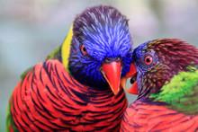Jurong Bird Park, Singapore - JUNE 30, 2019: Coconut Lorikeet And Rainbow Lorikeet Feeding