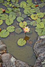 Lily Pad And Lotus Flower On Pond