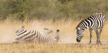 A Zebra Is Cleaned By Rolling ...