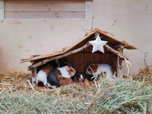 Guinea-pig Nativity Scene