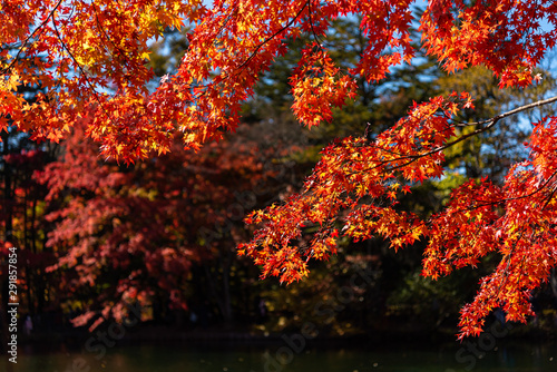Poster Cuban Red Beautiful Autumn landscape background. Colorful fall foliage in sunny day