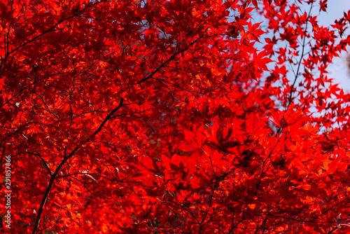 Foto auf AluDibond Rot Beautiful Autumn landscape background. Colorful fall foliage in sunny day