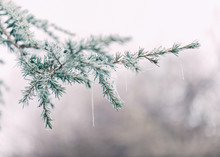 Frosted Conifer Branch On The Tree In Wintry Morning