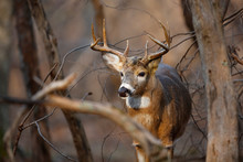 White Tailed Deer Walking In F...
