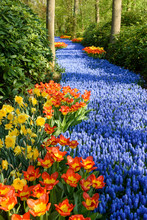 Grape Hyacinth And Tulip Flowers In Spring Garden