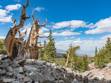 Ancient Bristlecone Pine Forest In Great Basin National Park, Baker, Nevada, USA