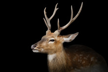 Spotted Deer Or Chitals Portra...
