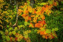 Rowan Tree (Sorbus Aucuparia) In Autumn Colour, Ruska, Muonio, Lapland, Finland