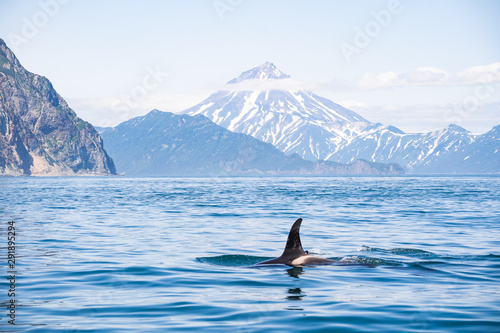 The dorsal fin of a killer whale is visible above the waters of the Pacific Ocean near the Kamchatka Peninsula, Russia.