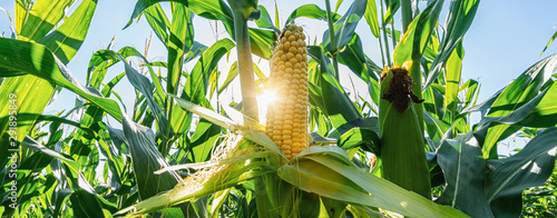 Fotografía Ear of corn in a field in summer before harvest, banner size