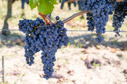 Fotografia  Ripe Cabernet Franc grape on vine in Saint Emilion Bordeaux region of France