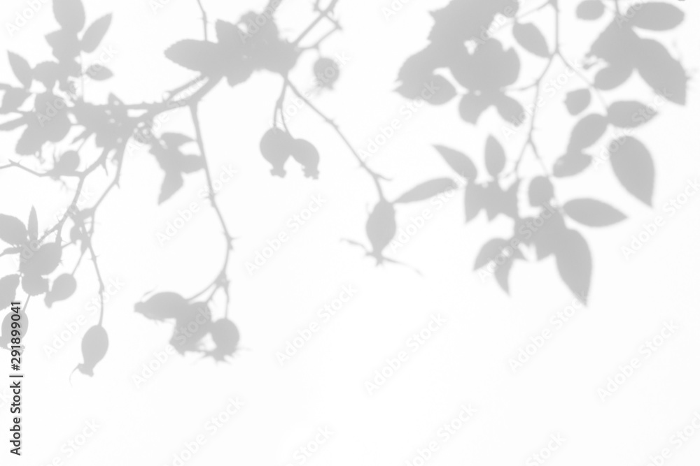 Fototapeta Overlay effect for photo. Gray shadow of the wild roses leaves and berries on a white wall. Abstract neutral nature concept blurred background. Space for text.