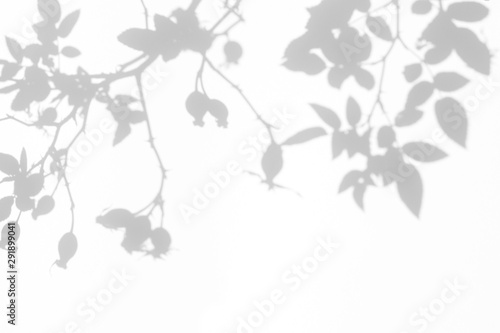 Obraz Overlay effect for photo. Gray shadow of the wild roses leaves and berries on a white wall. Abstract neutral nature concept blurred background. Space for text. - fototapety do salonu