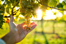 La Malattia Dell'uva Bianca. P...
