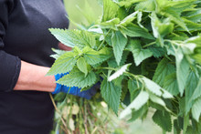 Woman Picking Fresh Nettle Leaves With Protection Gloves. Stinging Nettle Leaves Background.