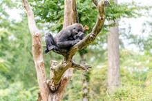 Gorilla Woman Lies High In The...