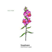 Pnk Snapdragon Plant, Antirrhi...