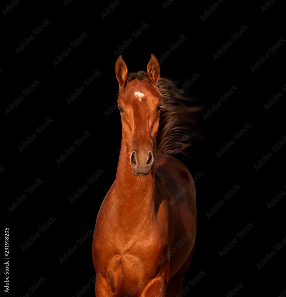 Fototapeta Bay horse isolated on black background