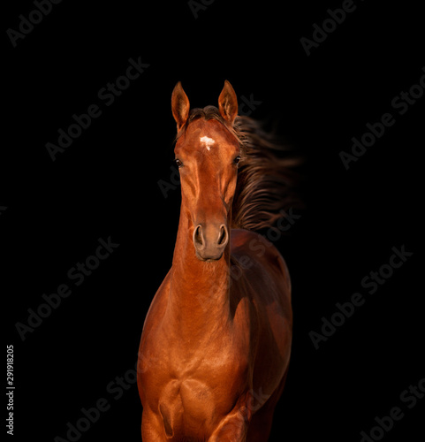 La pose en embrasure Chevaux Bay horse isolated on black background