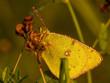 canvas print picture - Schmetterling (Colias hyale) im Morgenlicht voller Tautropfen