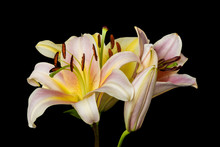 Wide Open Yellow White Lily Bl...