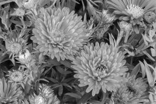 Monochrome White Autumn Aster Blooms Macro, Leaves,buds,on Natural Background In Fine Art Still Life Vintage Painting Style