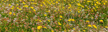 A Meadow Covered In Dandelions And Clover