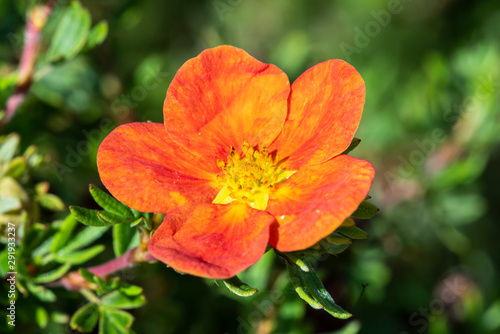Fotografija  Potentilla 'Red Ace' a summer flowered plant known as cinquefoil