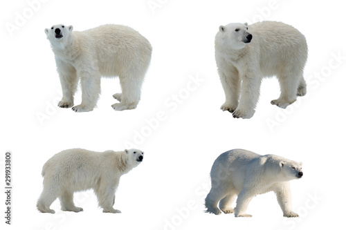 Foto op Aluminium Ijsbeer Set of four images of Polar bear (Ursus maritimus) isolated on white background