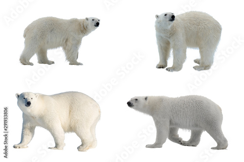Poster Ijsbeer Set of four images of Polar bear (Ursus maritimus) isolated on white background