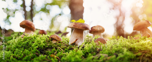 Fotografie, Obraz Whild Mushrooms outdoors in the forest in autumn