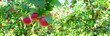 canvas print picture - Reife rote Äpfel - Apfelwiesen in Südtirol kurz vor der Apfelernte
