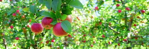 Reife rote Äpfel - Apfelwiesen in Südtirol kurz vor der Apfelernte - 291939442
