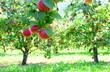 canvas print picture - Äpfel - Apfelbäume - Apfelwiese kurz vor der Apfelernte