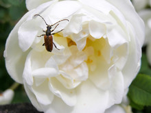 Longhorn Beetle On A Flower