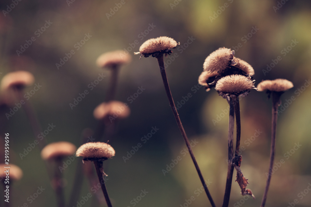 Fototapety, obrazy: Dry, fallen flowers in autumn close-up