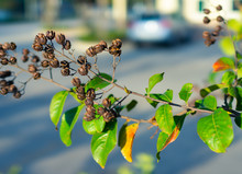 Dried Crepe Myrtle Lagerstroemia Indica Flower Shell In Florida, USA