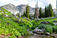 Albion Basin, Utah Summer With Landscape View Of Rocky Wasatch Mountains On Cecret Lake Trail Hike With Rocks And Trees By Meadow