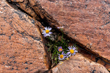 Albion Basin, Utah Summer With Small Yellow Purple Alpine Daisy Flowers Growing On Rocky Trail In Wasatch Mountains Near Cecret Lake