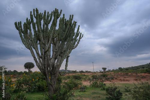 Photo Un grosso cactus in Kenya
