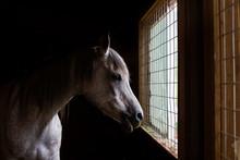 Arabian Horse Looking Out Barn Window