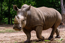 Rhinoceros Is A Large Mammals.
