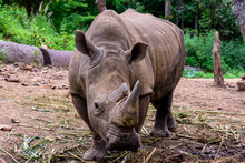Rhinoceros Is A Large Mammals.