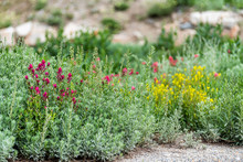 Albion Basin, Utah Wildflowers Summer Season In Wasatch Mountains With Closeup Of Meadow And Red And Yellow Paintbrush Flowers Shrubs
