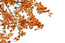 Branches With  Colorful Autumn Leaves  Isolated On White Background.  Cherry Plum